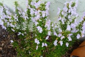Focus on Natives: Georgia Calamint