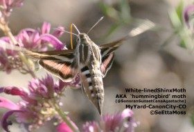 Is it a hummingbird?  No it's a sphinx moth!