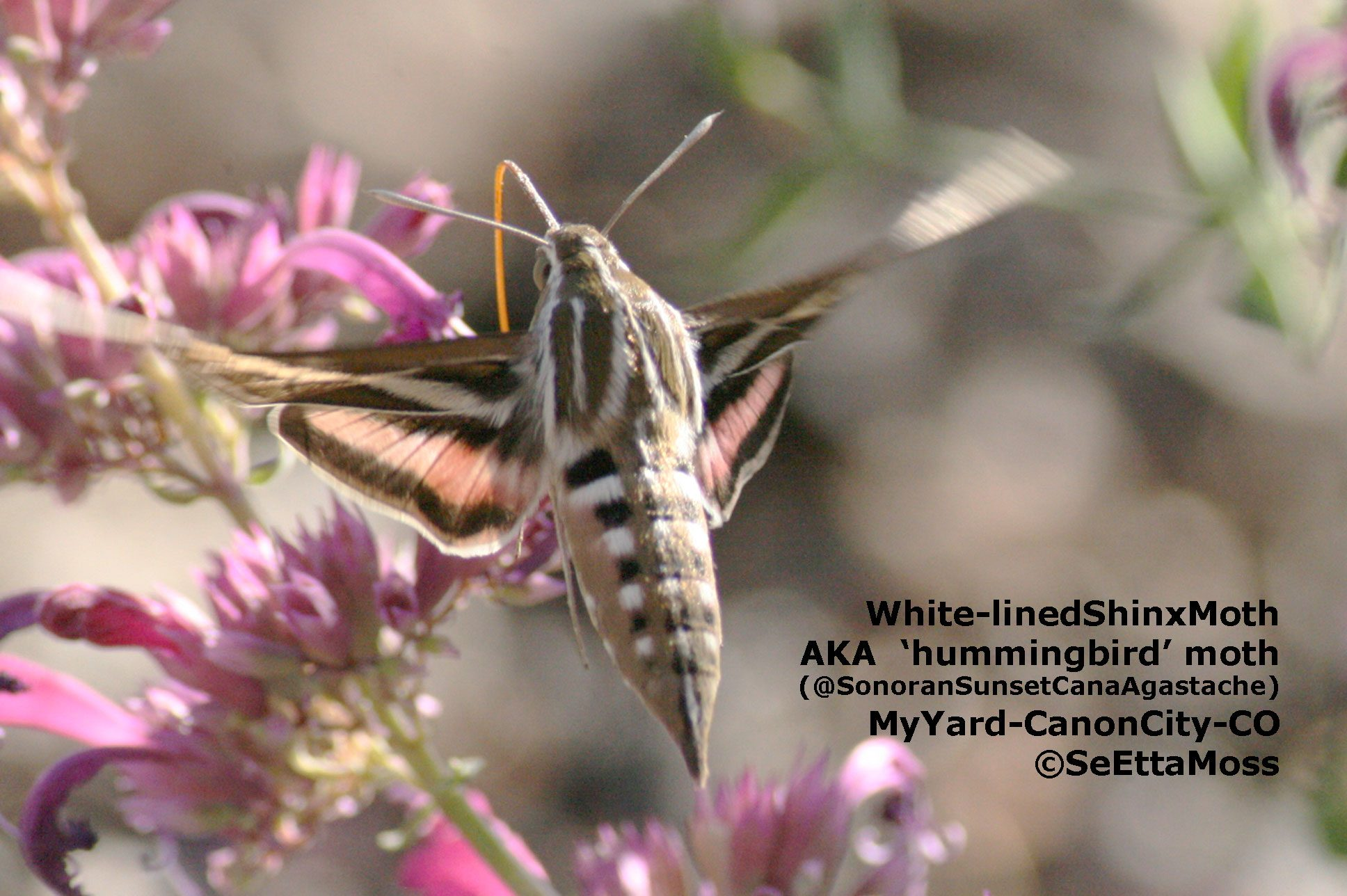Is it a hummingbird no its a sphinx moth birds and blooms this white lined sphinx moth is one of several species of moth that is often mistaken for a hummingbird they have a habit of flying a lot at dusk when mightylinksfo