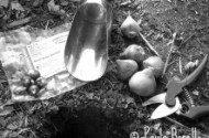 planting bulbs | © paula bonelli | birdsandbloomsblog.com