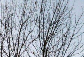 Migration: Cedar Waxwings