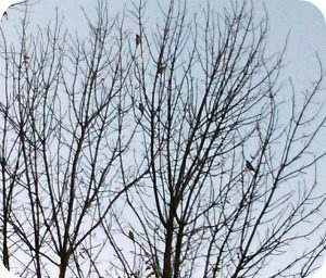 cedar waxwing | paula bonelli | birdsandbloomsblog.com