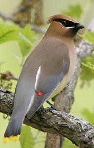 Cedar Wax Wing | BirdsandBlooms.com