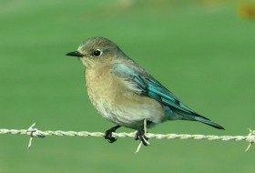 Mountain Bluebird – Nevada's State Bird