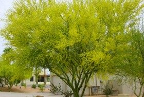 Flowering Blue Palo Verde