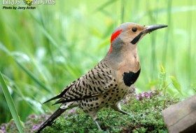 What a great photo of a northern flicker! Note the curved bill, useful for scooping up insects. Photo courtesy of Birds & Blooms/Michael Acton.