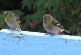 Goldfinches, Entertainment in the Fall