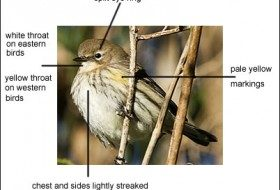 Yellow-rumped warbler | image birdzilla.com