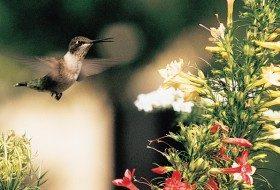 Ruby-Throated Hummingbird on Texas Plume