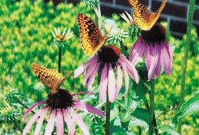 Great Spangled Fritillaries on Purple Coneflowers