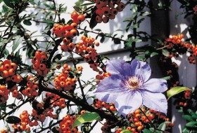 Purple Clematis in Firethorn
