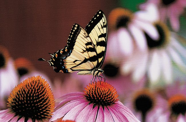 Tiger Swallowtail on Purple Coneflower