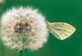 Cabbage White Butterfly on Dandelion