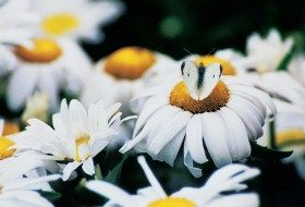Cabbage White Butterfly with Shasta Daisies
