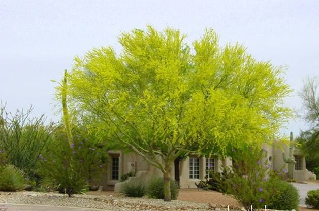Drought tolerant gardening fire resistant plants for for Drought tolerant trees