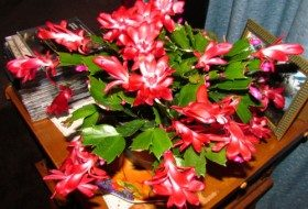 Growing a Christmas Cactus