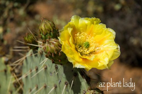 Cactus (Familia Cactaceae) - EnchantedLearning.com