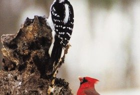 Hairy Woodpecker and Northern Cardinal