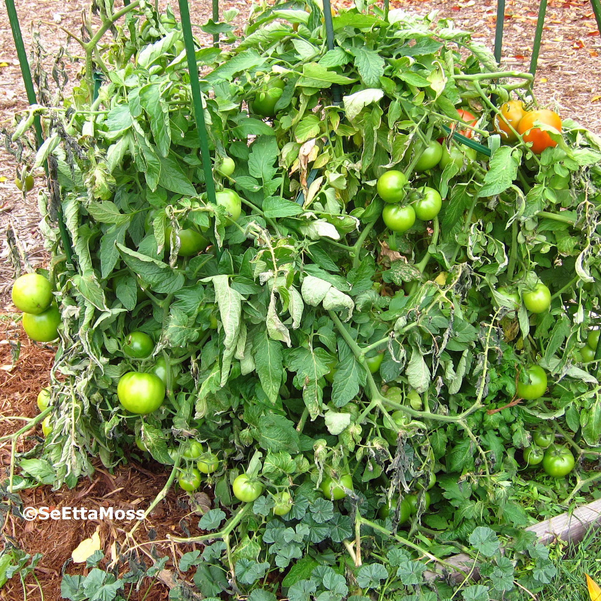 I Got A Late Start This Summer With My Tomato Plant An Organic Better Boy Variety So Harvest Extended Pretty For Southern Front Range Town In