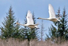 Report Trumpeter Swan sightings this winter