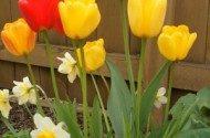 daffodils, tulips | birdsandbloomsblog.com | paula bonelli