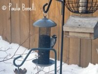 downy woodpecker | paula bonelli | paulasgardenpatch.com