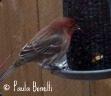 house finch | birdsandbloomsblog.com | paula bonelli