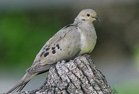 10 Surprising Facts about Mourning Doves