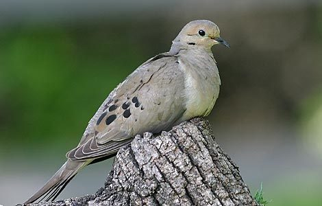 10 surprising facts about mourning doves birds blooms