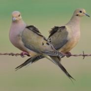 10 Fascinating Facts About Mourning Doves
