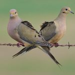 13 Fascinating Facts About Mourning Doves