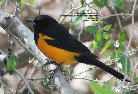 Christmas week treat–a rare oriole from Mexico