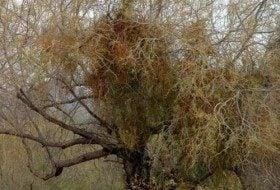 Got Mistletoe?