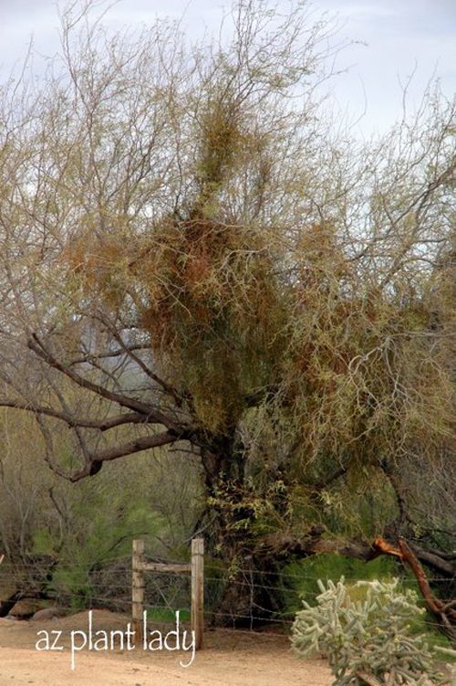 how to get rid of mistletoe in mesquite trees