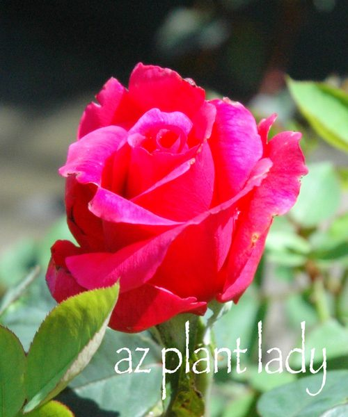 How To Select Bare Root Roses Birds And Blooms