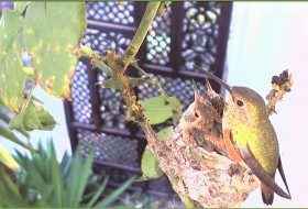 Watch baby hummingbirds live on the web
