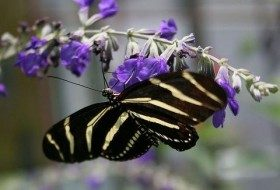 Sow Salvia Seeds for Butterfly Needs
