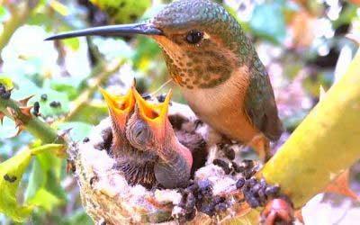 Allen's-Hummingbird