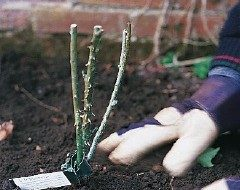 Planting Bare Root Roses