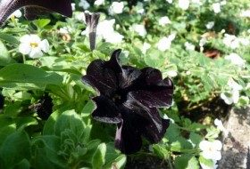 Trying Out 'Black Cat' Petunias in the Garden