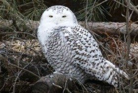 6 Facts About Snowy Owls
