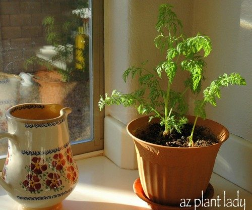 Growing Carrot Tops