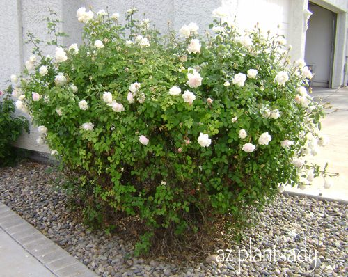 rose_bush_before_pruning
