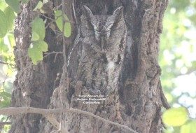 The Eastern Screech-Owl