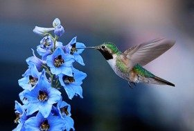 A hummingbird sipping from delphinium submitted by connieblue.