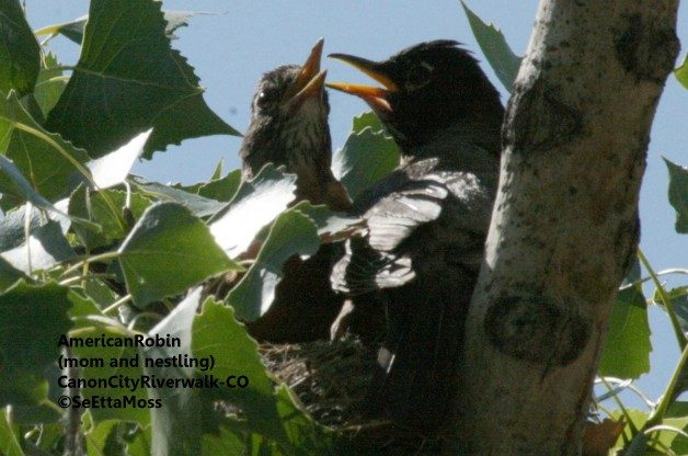RobinsOnNest-CC,CO