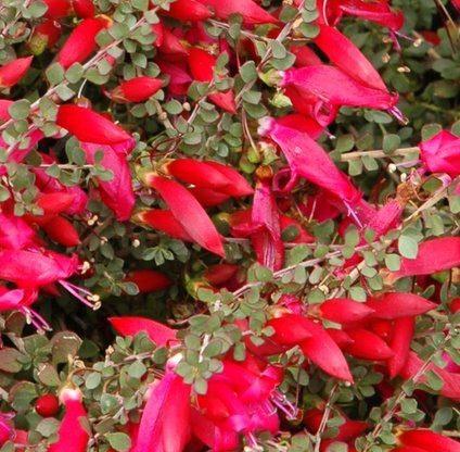 Valentine  (Eremophila maculata 'Valentine')
