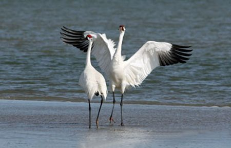Whooping crane photo by Diana Loyd