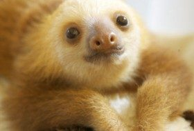 Oh so cute baby sloths