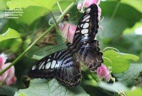 Butterfly Pavillions